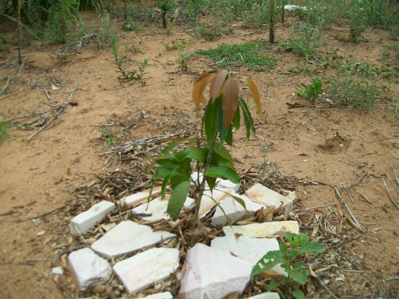 Aufforstung34 Mango 1. Jahr 2009